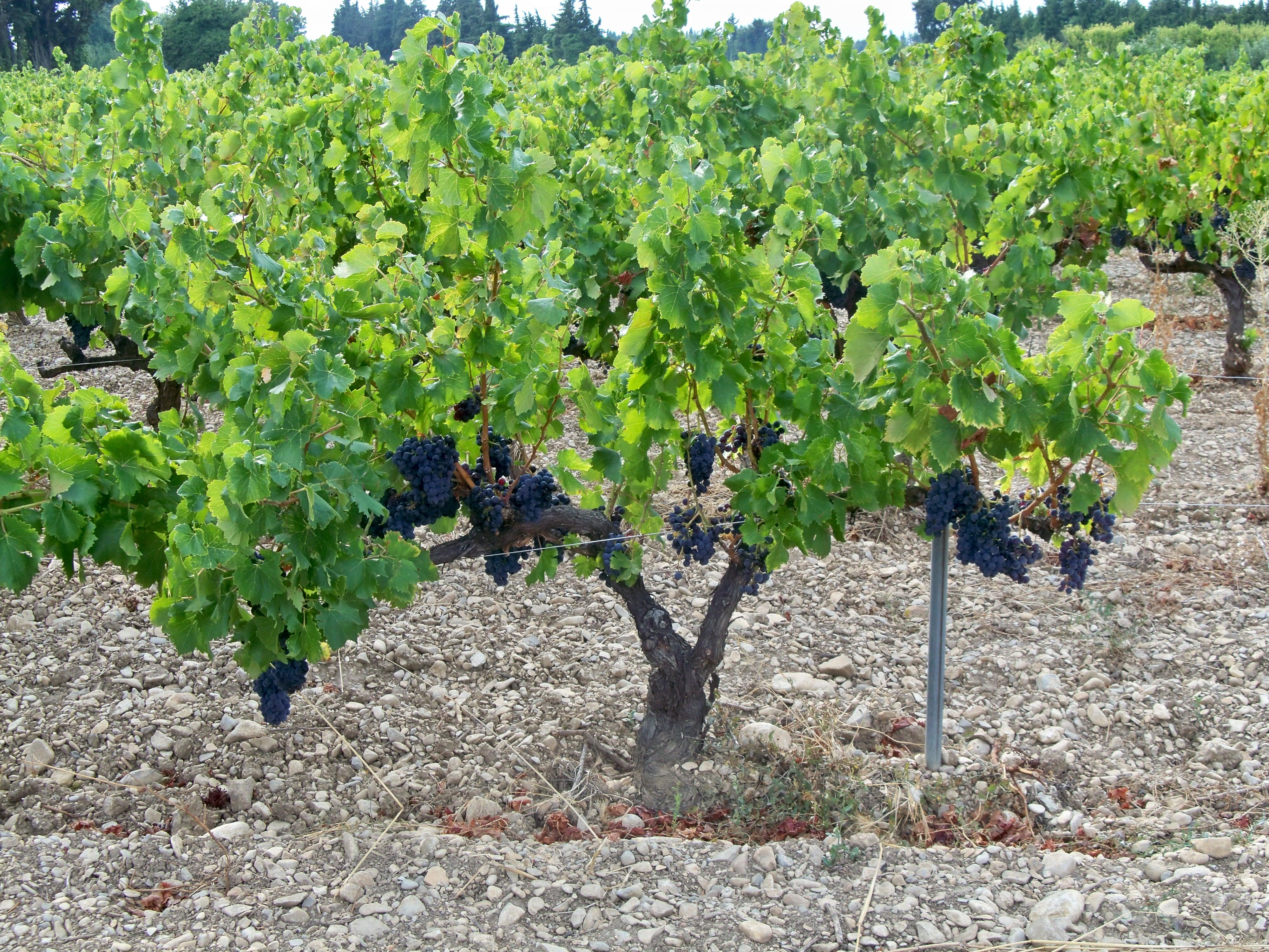 L'Etat défère un viticulteur bio devant le Tribunal de Villefranche-sur-Saône